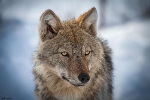 Canis lupus2