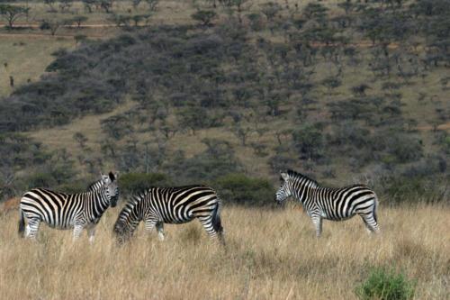 Print zebras2 IMG 4632