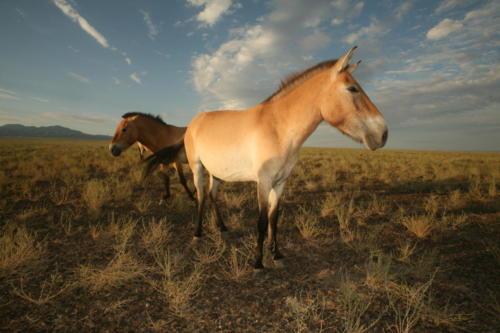 Przewalski Horse Ili-Balkhash Proj Roman Jashenko 2010