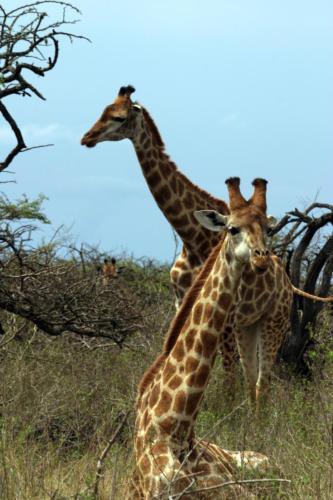 print girapha IMG 4600